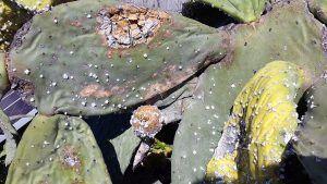 la palma cactusvijg
